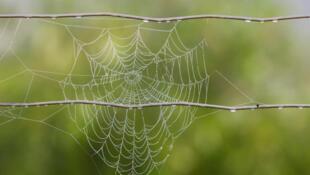 A diamètre égal, les fils de soie sont cinq fois plus résistant que l'acier et trois fois plus que les meilleures fibres synthétiques.