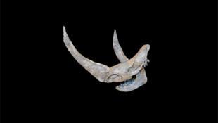 La corne aplatie du rhinocéros laineux sert à écarter la neige pour accèder à la végétation.