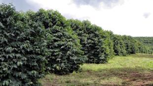 Plantation de café dans la ville de Pedregulho, près de São Paulo au Brésil.