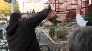 Roedores conhecidos como os ratões-do-banhado (Myocastor coypus), foram maltratados durante manifestação de agricultores.
