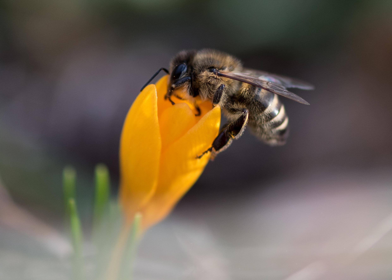 L'abeille reste un insecte fragile, ce qui explique en partie son déclin.