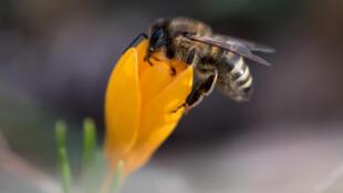 União Europeia proibe três pesticidas perigosos para abelhas.