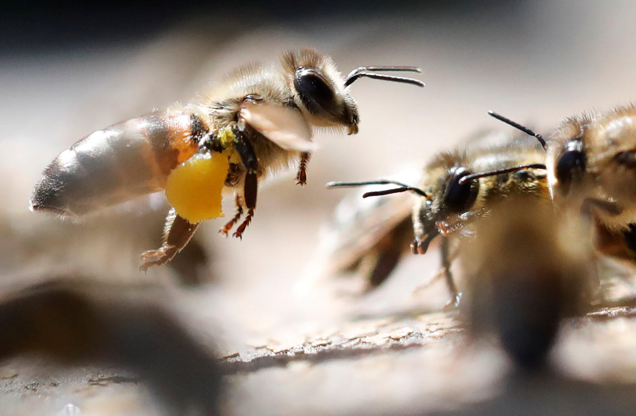 All in a day's work: a bee gets home with a takeaway.