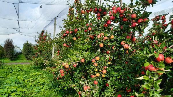 Tomber dans les pommes字面的意思是說掉進蘋果堆里了,實際要表達的意思是不省人事,昏厥