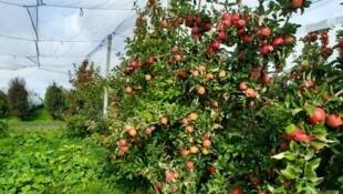 Tomber dans les pommes字面的意思是说掉进苹果堆里了,实际要表达的意思是不省人事,昏厥