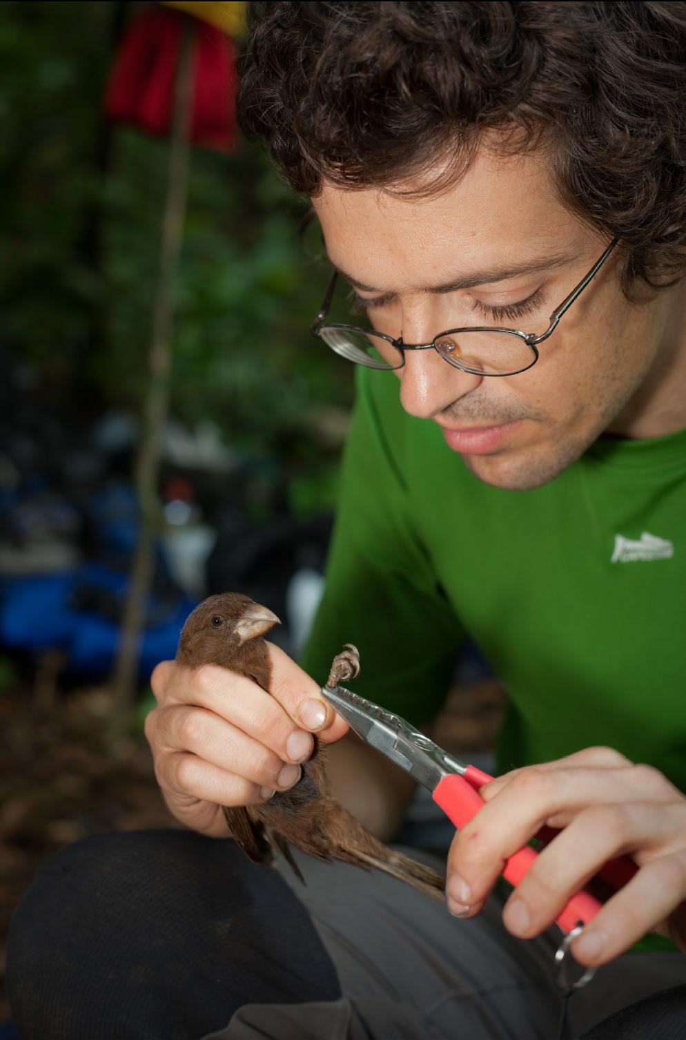 Martim Melo a colocar uma anilha no Bico-grossudo de São Tomé.