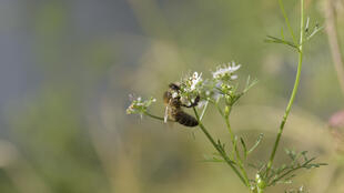 Une abeille butine une fleur de coriandre, en région parisienne.