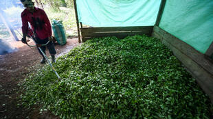 Traitement d'une récolte de la coca.
