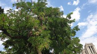Planté en 1601, le plus vieil arbre de Paris fait face à Notre-Dame.