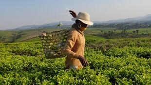 Au milieu des 400 hectares de théiers de la plantation de Sahambavy, Joséphine s'active pour effectuer ses 50kg de cueillette quotidienne. Ce sont environ 400 tonnes de thé noir qui sont exportées chaque année.
