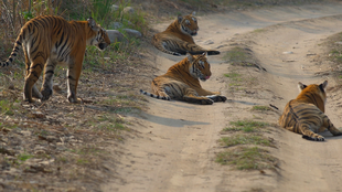 India's tiger population has increased exponentially in wildlife reserves.