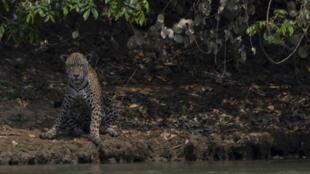 Un jaguar adulto herido se sienta en la orilla de un río en el Parque Encontros das Aguas, en la región de Porto Jofre del Pantanal, cerca de la carretera del parque Transpantaneira que atraviesa el mayor humedal tropical del mundo, en el Estado de Mato Grosso, Brasil, el 15 de septiembre de 2020.