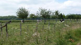 L'agroforesterie : le mariage entre les arbres et les cultures ou l'élevage (Perche).