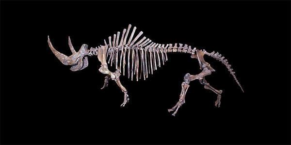 Les rhinocéros laineux (coelodonta thibetana) sont descendus des montagnes du Tibet quand l'ère glaciaire a commencé.