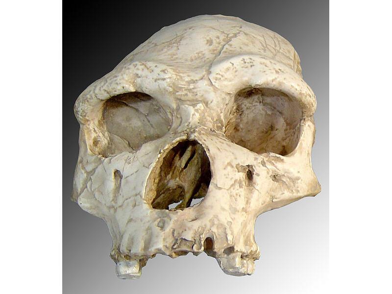 Tautavel Man's skull