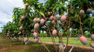 Une plantation de mangues au Sénégal.