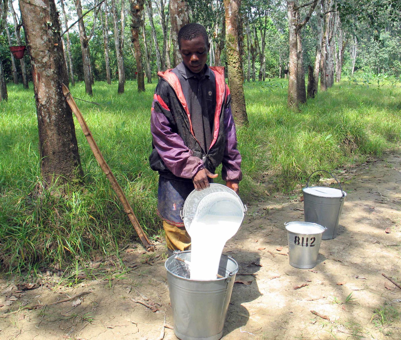 Dans une plantation d'arbres à caoutchouc de Firestone à Harbel, au Libéria, grand producteur de latex mais ce pays n'a toujours pas d'unité de transformation de cette matière première.