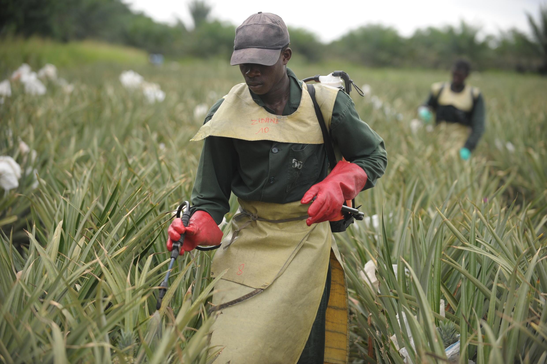 Un homme vaporise des pesticides sur une plantation d'ananas en Côte d'Ivoire en 2009, à 100 km d'Abidjan.
