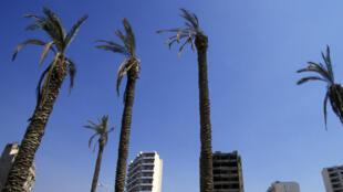 Des palmiers asséchés, à Beyrouth au Liban.