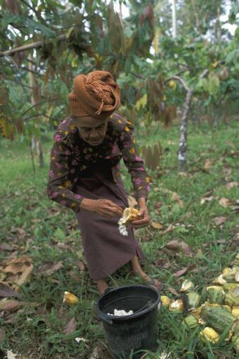 Récolte de cacao à Bali, en Indonésie.