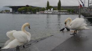 图为网传卢塞恩天鹅广场湖畔天鹅