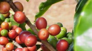 No sul de Minas, o mercado de café arabica está em expansão.