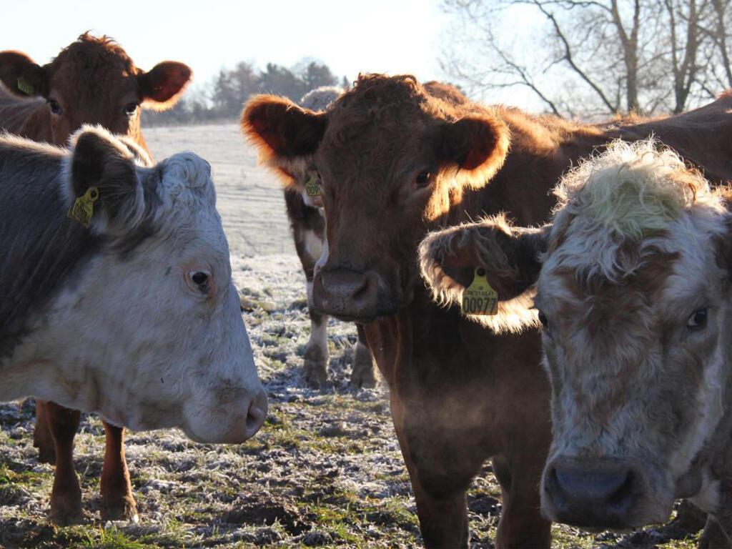 Vacas engolem restos de pneus, ferragens e arames farpados, que podem causar infecção e até a morte do animal.