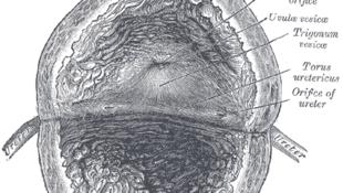 Une vessie, vue de l'intérieur