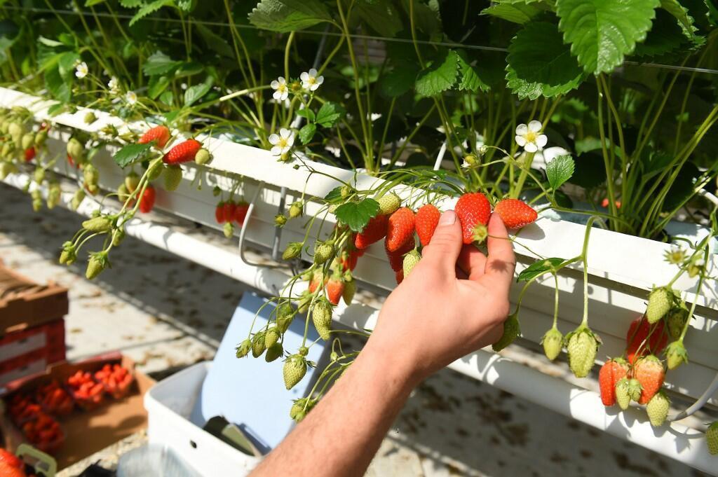 FRANCE - ECONOMY - AGRICULTURE - CORONAVIRUS - Strawberries - Fraises
