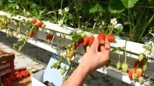 A colheita de frutas e legumes na Europa exige grande mobilização de trabalhadores sazonais.