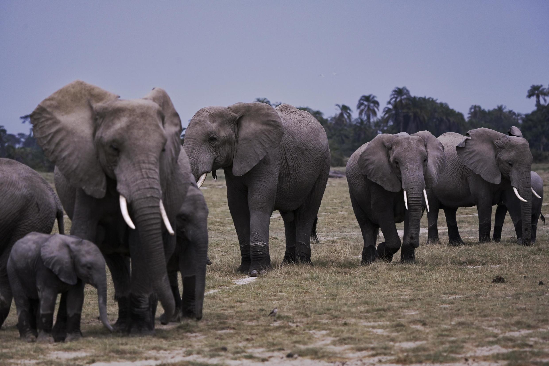 Éléphants au Kenya. (Image d'illustration)