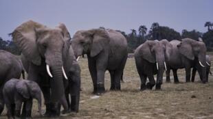 Au Kenya, le nombre d'éléphants a doublé en une trentaine d'années se réjouit le ministre du Tourisme (photo d'illustration).
