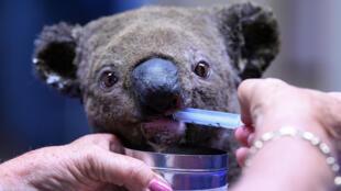 A koala injured in the Australian bushfires receives veterinary treatment.