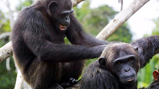 Chimpancés en el parque nacional de Conkouati Douli, en Congo Brazzaville, el 9 de febrero de  2005