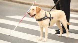 As gangues de roubo de pets no Reino Unido têm preferência por animais de raça, como os labradores.