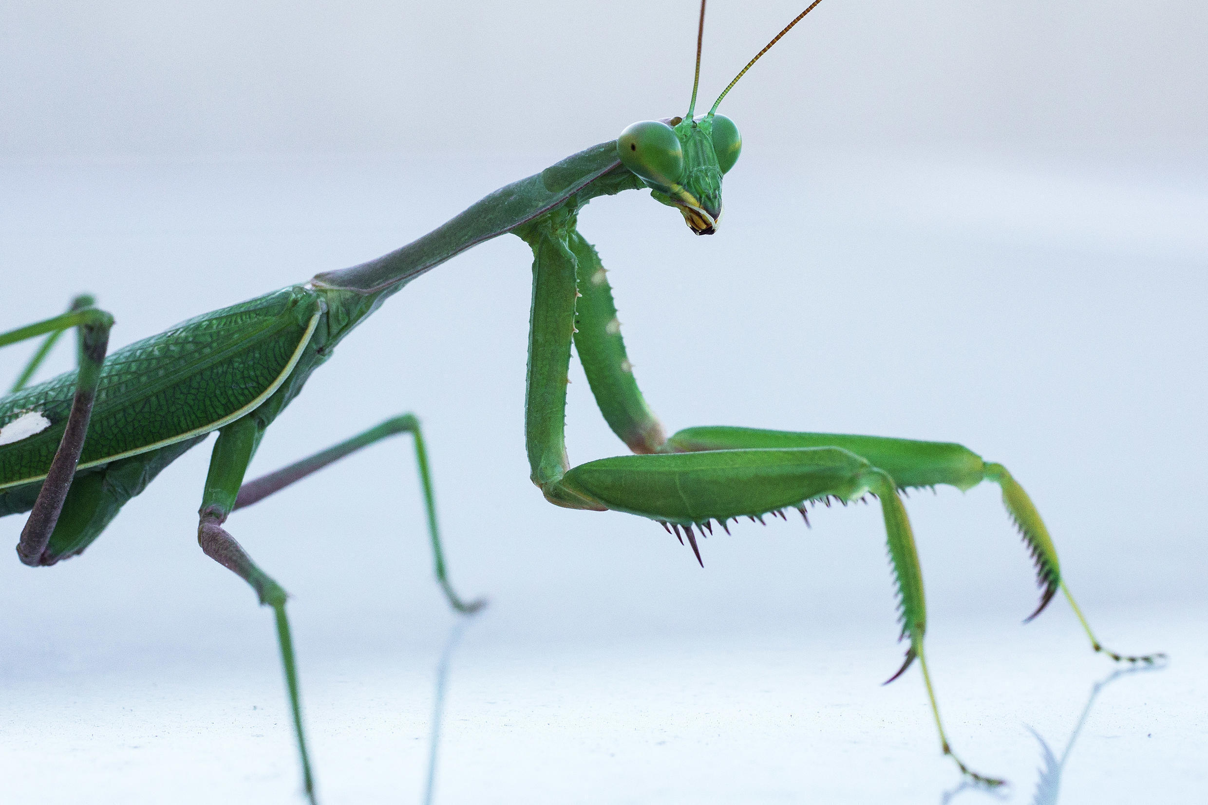 60 percent of sexual encounters between Springboks -- one of nearly 2,000 mantis species across the globe -- end in males being eaten as snack