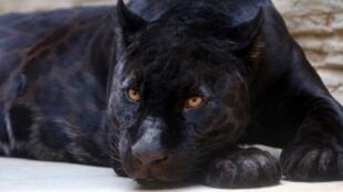 Une panthère noire (photo d'illustration).