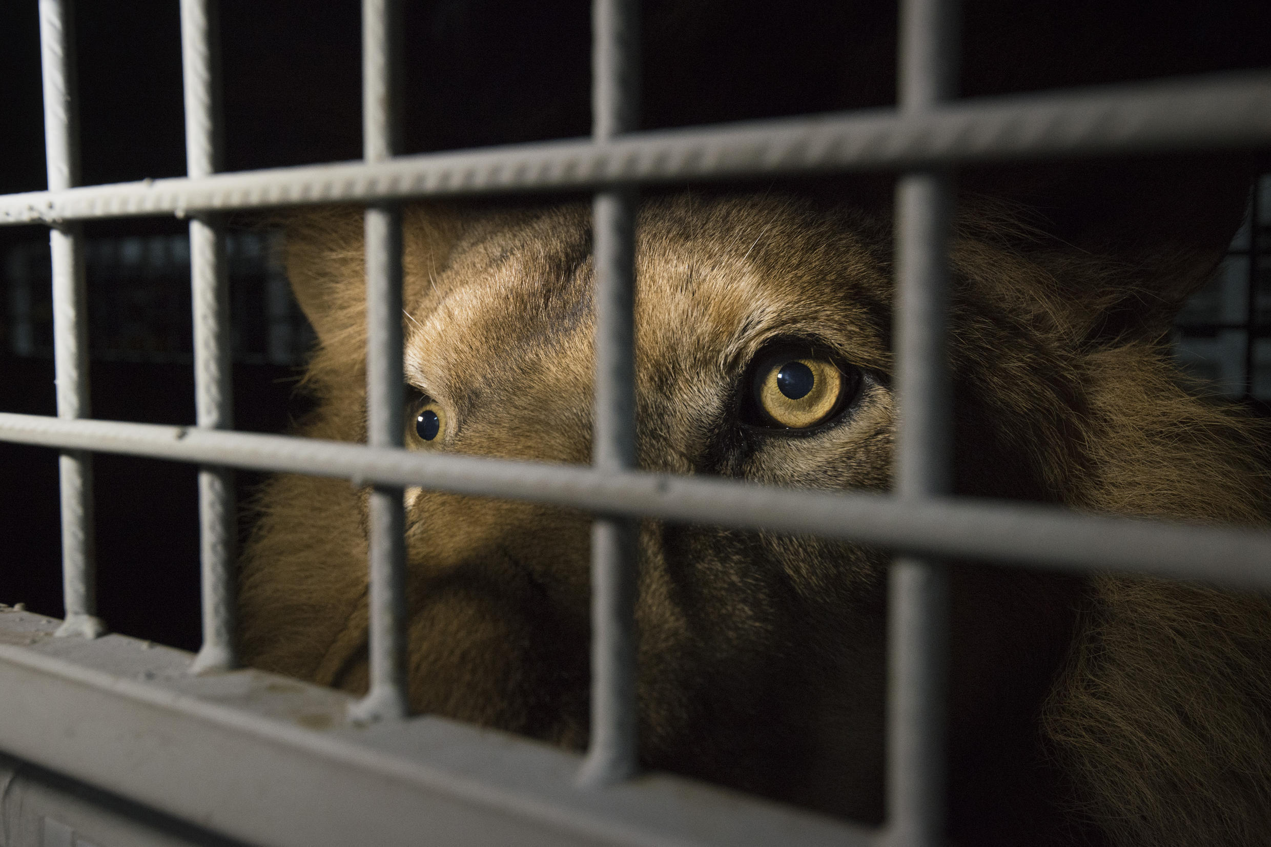 The practice of hunting lions raised in captivity has long been controversial in South Africa, where a large number of animals are confined to pens ringed with electric fences