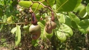 L'anacardier, l'arbre de noix de cajou, avec des pommes de noix de cajou non mûres.