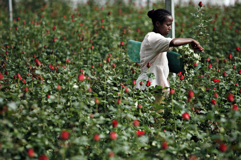 Cueillette de fleurs à la ferme de Roshanara Roses à Debre Zeit, Oromia (Ethiopie).