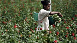 Cueillette à la ferme de Roshanara Roses à Debre Zeit, Oromia.
