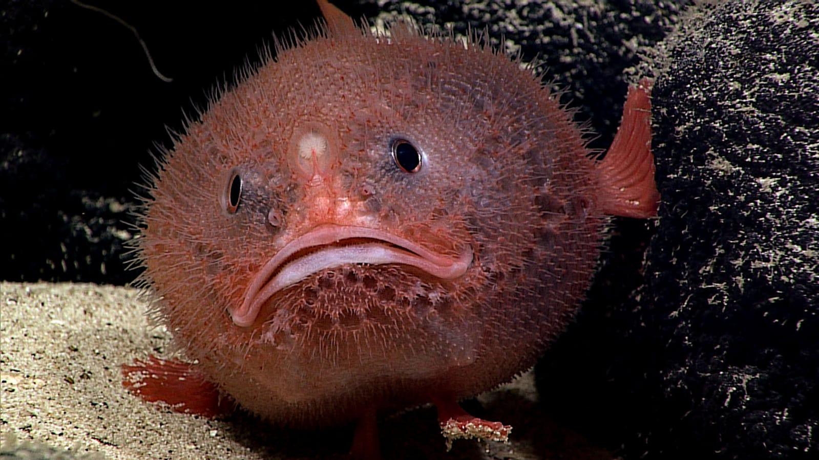 Especies como esta desaparecerían por el recalentamiento global y por la acidificación de los océanos.