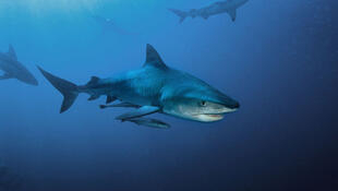 Requin-tigre (Galeocerdo cuvier) d'Afrique du sud