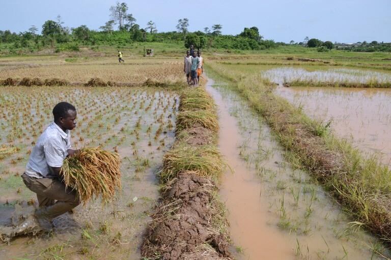 Un fermier ivoirien cultive son champ de riz à Agboville, dans le sud de la Côte d'Ivoire.
