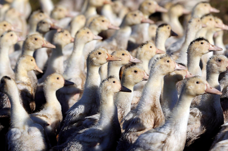法國鄉間放養的鴨群