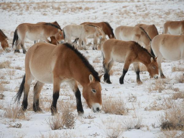 Family group grazing in harsh Mongolian winter, where temperatures drop down to -40°C, on Seer reserve site.