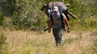 Accompagné de quatorze autres adultes reproducteurs, Diego, un mâle centenaire de l'espèce Chelonoidis hoodensis, a été rapatrié sur l'île déserte d'Española par des employés du Parc national des Galapagos (PNG).