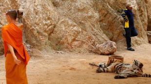 Le temple aux tigres est visité chaque année par de nombreux touristes, dans la province de Kanchanaburi, dans l'ouest de la Thaïlande.