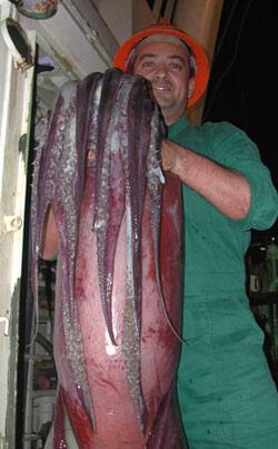 Calamar géant ou jumbo squid (Dosidicus gigas) pêché par l'institut de la mer du Pérou (Imarpe).