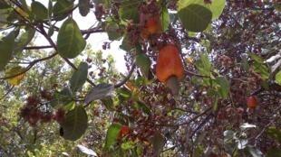 Joaquim et Sambicté se sont adaptés : transformer le jus des pommes de cajou en rhum. (image d'illustration)